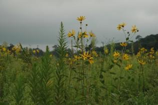 土壌の洗浄がまだの水田では、オオハンゴンソウが秋らしい風情を醸し出していた