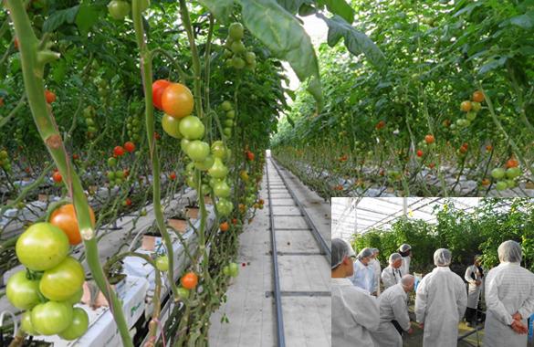 グリーンハウス内「トマトのIOT栽培状況」
